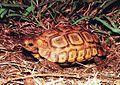 Kinixys natalensis - adult male Natal Hinged Tortoise - RSA.jpg