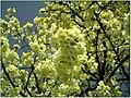 Kirschblüte - panoramio (10).jpg