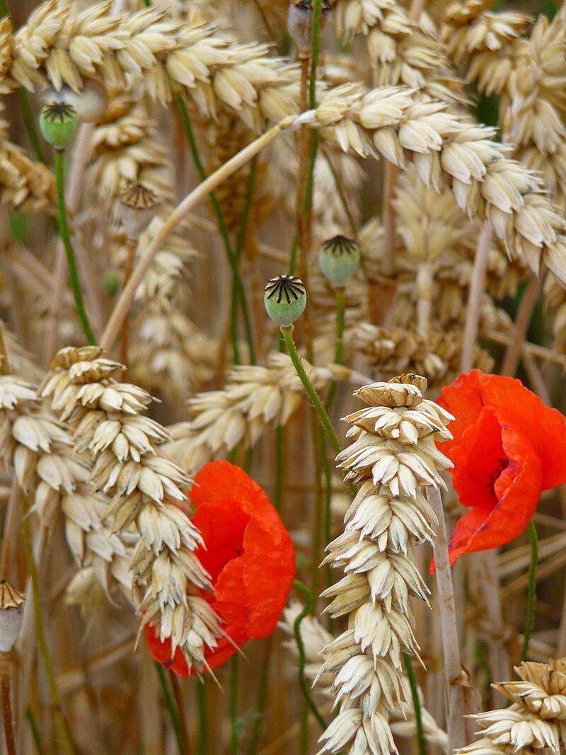 Coquelicots dans un champ de blé.  (définition réelle 1536×2048)