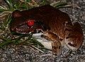 Knudsen's Thin-toed Frog (Leptodactylus knudseni) (38520528691).jpg