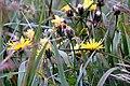 Korbblütler (Asteraceae) IMG 6752.JPG