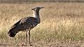 Kori bustard, Ardeotis kori, at Kgalagadi Transfrontier Park, Northern Cape, South Africa (34494051936).jpg