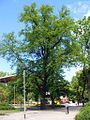 Koszalin - dąb szypułkowy Quercus robur pomnik przyrody 2.jpg