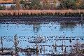 Kraniche am Tister Bauernmoor.jpg