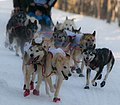 Kristy Barrington's dog team (8530550370).jpg