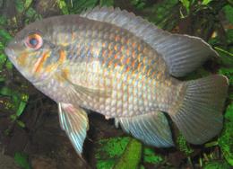 Krobia sp. Rio Xingu.png
