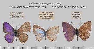 <i>Nacaduba kurava</i> Species of butterfly
