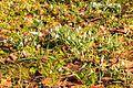 Kvetoucí sněženky v PP Sněženky ve Vysokém lese 42.jpg