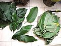 LEAVES - Lasimorpha senegalensis and Haumania liebrechtsiana.jpg