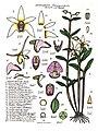 LR022 72dpi Dendrobium finniganensis.jpg