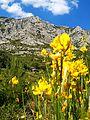 La Sainte Victoire, fleurs jaunes.jpg