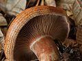 Lactarius rubrilacteus 126762.jpg