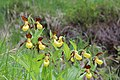 Lady's-Slipper Orchid - Cypripedium calceolus - panoramio (30).jpg