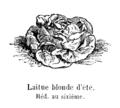 Laitue blonde d'été Vilmorin-Andrieux 1904.png