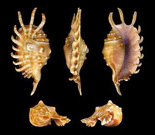 <i>Lambis millepeda</i> Species of gastropod