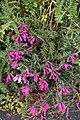 Lamourouxia virgata (Orobanchaceae) (45995457722).jpg