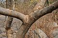 Lannea coromandelica (Wodier Tree) in Hyderabad W IMG 5647.jpg