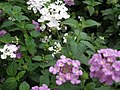 Lantana from Lalbagh flower show Aug 2013 8039.JPG