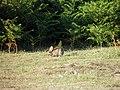 Lapin (Leporidae) (07).jpg