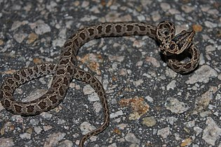 Large-spotted Cat Snake (Boiga multomaculata) 繁花林蛇3.jpg
