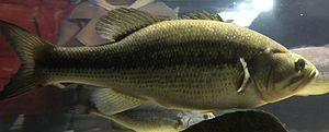 Largemouth bass - Side view of a living largemouth bass.