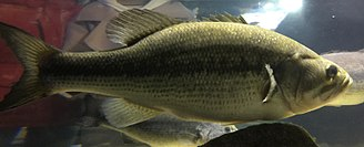 Largemouth bass - Side view of a living largemouth bass.
