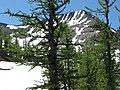 Larix lyallii MountFrosty4.jpg