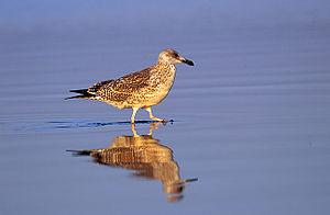 Caspian gull - Image: Larus cachinnans 2 young (Marek Szczepanek)