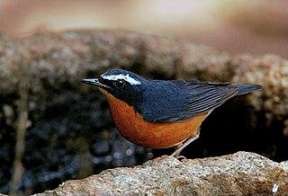 Indian blue robin species of bird