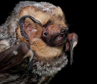 Lasiurus - Hoary bat (Lasiurus cinereus)