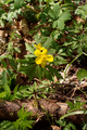Lautertal Eichelhain Oberwald Anemone ranunculoides Eisenbach SCI 555520690 FFH5322-306 g.png