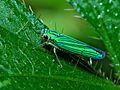 Leafhopper (Tettigoniella nigrinervis) (6807780777).jpg