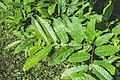 Leaves of Castanea sativa.jpg