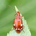 Lebidia octoguttata.jpg
