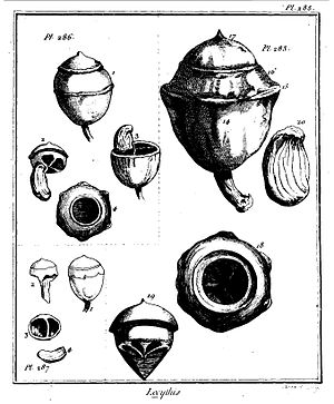 Lecythis zabucajo - Plate 285 Histoire des Plantes de la Guyane Françoise