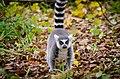Lemur (30931109874).jpg