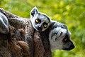 Lemur (35805504073).jpg
