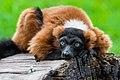 Lemur (36476884871).jpg
