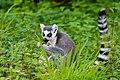 Lemur (36915674790).jpg