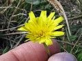 Leontodon saxatilis flowerhead3 (14632827875).jpg