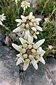Leontopodium.leontopodioides.Alpengarten.jpg