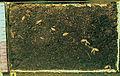 Les Plantes Cultivades. Cereals. Imatge 125.jpg