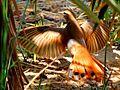Les oiseaux de Siwa - panoramio (2).jpg