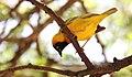 Lesser-masked Weaver (Ploceus intermedius) (46534260662).jpg