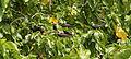 Lesser Noddy - Anous tenuirostris 4.jpg