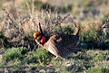Lesser Prairie-Chicken Area of Critical Environmental Concern, New Mexico (15056657503).jpg