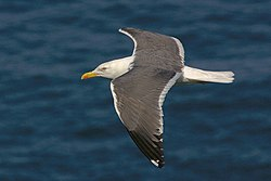 Lesser black backed gull in flight.jpg