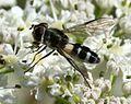 Leucozona laternaria (female) - Flickr - S. Rae (4).jpg