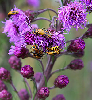 Liatris - Liatris aspera with goldenrod soldier beetles (Chauliognathus pennsylvanicus) on it