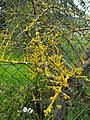 Lichen encrusted thorn bush - geograph.org.uk - 1578857.jpg